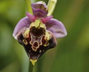 ophrys bourdon 1