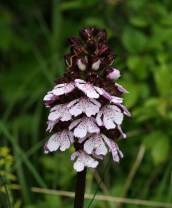 orchis pourpre 2