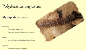 polydesmus angustus